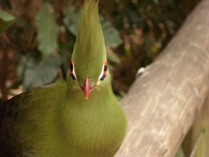 Green_Turaco_by_Desiree_Haakonsen