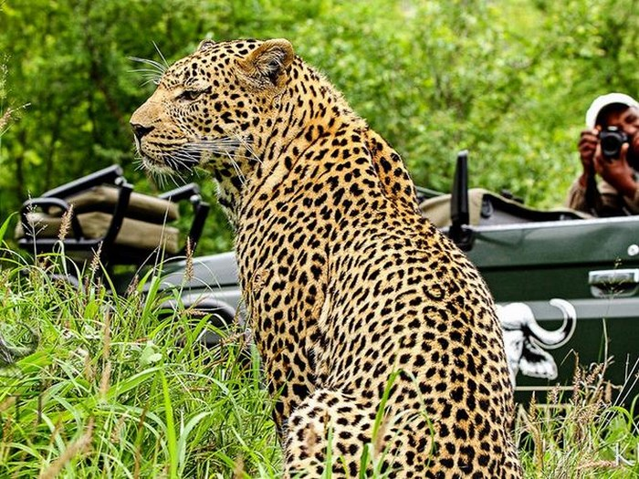Kruger-leopard-game-drive-Inyati-Game-Lodge