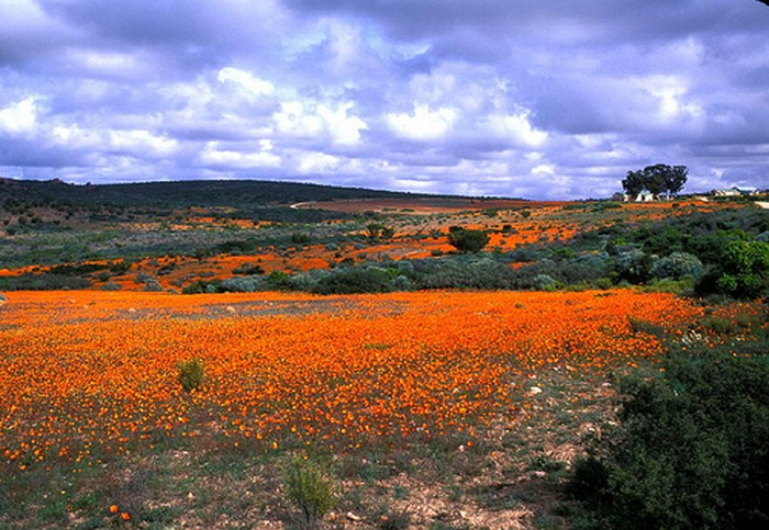 Namaqualand_wildflowers_by_mmmavocado_(flickr)