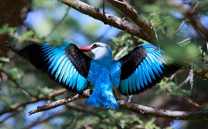 marakele-Woodland_kingfisher_by_Derek_Keats_(flickr)