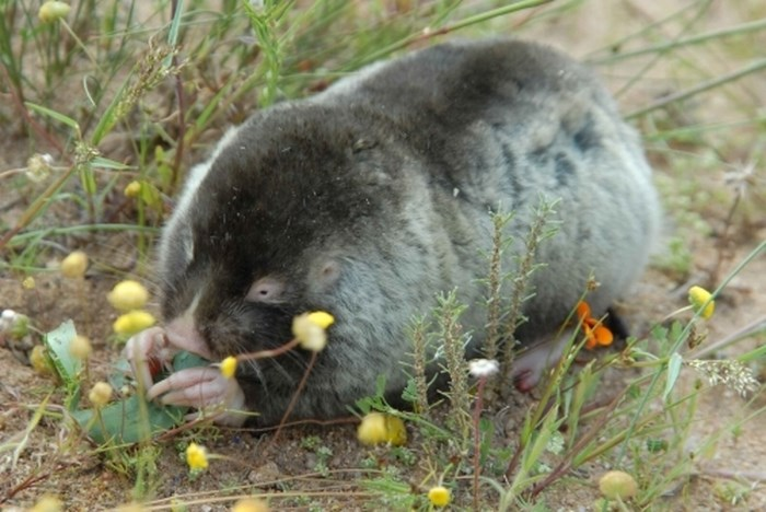 Namib Dune Mole Rat eating indigenous fynbos by Lutermann via University of Pretoria