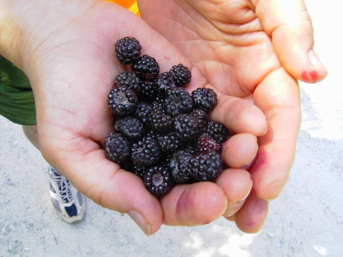 Berries, Gavin St. Ours (Flickr)