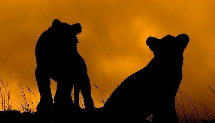 Lion Cub Silouettes, Mara 1 (Flickr)