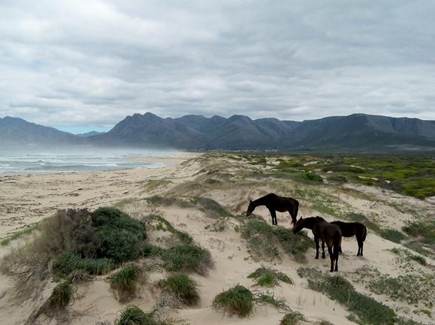 Wild-horses-klienmond-lagoon-and-sea