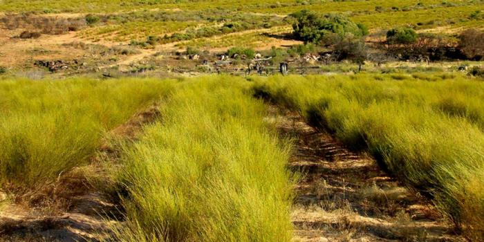 Rooibos-plantasie | Foto: rooibos-route.co.za