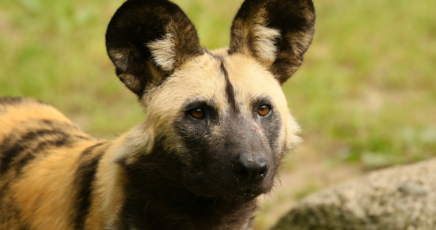 Close up of an African Wild Dog | Flickr