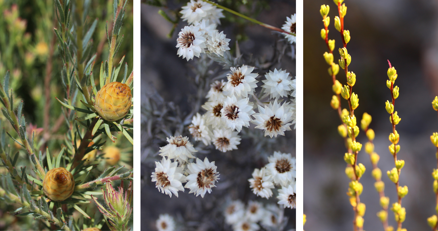 Some of the beautiful fynbos to be found around the chalets and along the hiking trails.
