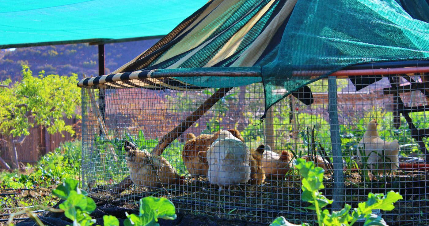 The gardening chickens at Numbi.