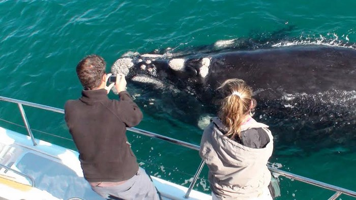 Whale watching cruises supplied by Southern Right Charters