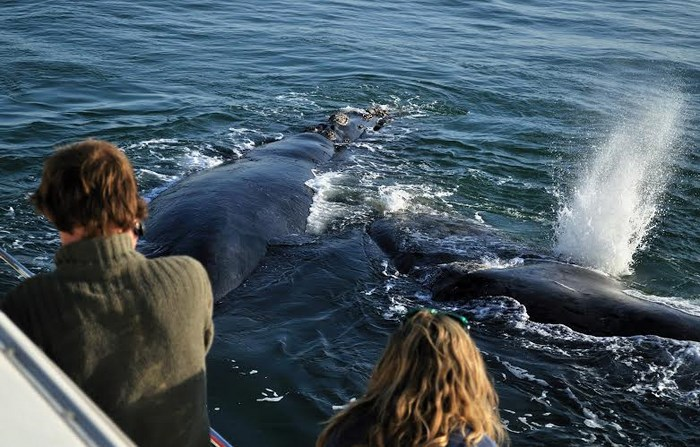 Whale cruises supplied by Southern Right Charters